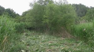 池脇のアシ刈り